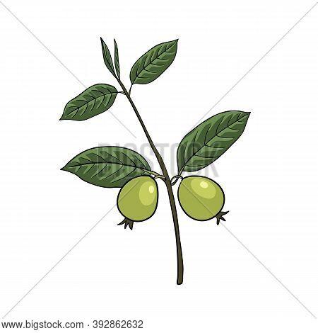 Vector Drawing Guava Tree, Psidium Guajava, Hand Drawn Illustration Of Medicinal Plant