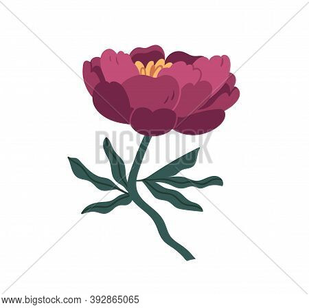 Gorgeous Japanese Peony Isolated On White Background. Blooming Violet Flower With Stem And Leaves. C