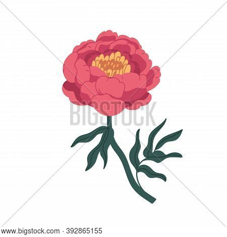 Gorgeous Pink Japanese Peony Isolated On White Background. Blooming Flower With Yellow Center, Stem