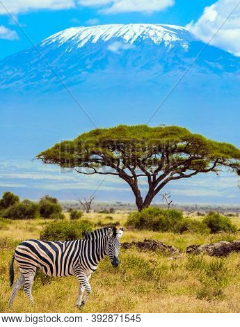 Trip to the Horn of Africa. Southeast Kenya, the Amboseli park, desert acacia. Lone zebra grazes in the African savannah at the foot of Kilimanjaro.