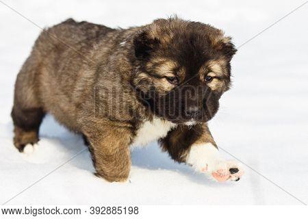 Funny Caucasian Shepherd Dog Running In Snow