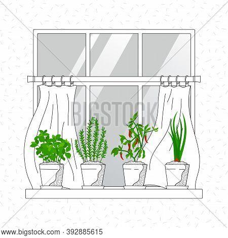 Mini Herb Garden On Windowsill, Waving Curtains. Indoor Garden Horticulture. Growth Rosemary, Basil,