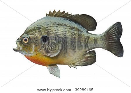 Bluegill Sunfish Isolated On White Background