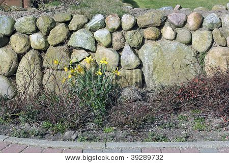 Frisian Stone Wall And Wild Daffodil