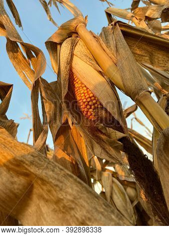 Detail Of A Fully Ripe Corn On The Cob In A Leaf Wrap On A Corn Plant In A Corn Field.