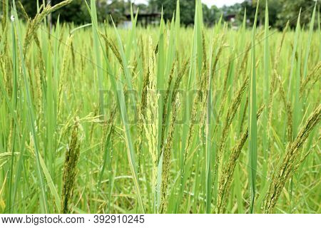 Close Up Ear Of Rice Swaying By Wind In Rice Paddy. Hom Mali Rice Field Located In Countryside Of Th