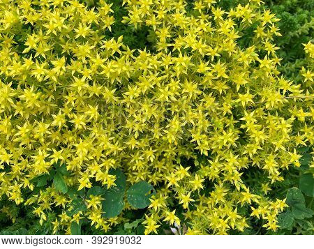 Sedum Acre, A Perennial Herbaceous Succulent Plant In The Crassulaceae Family. Small Yellow Flowers