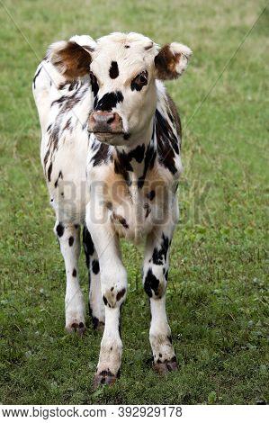 Normandy Calf Standing On Grass Normandy Calf Standing On Grass