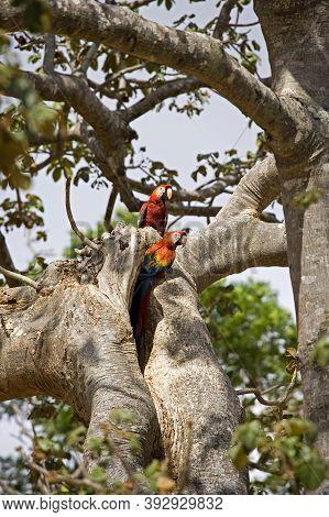 Scarlet Macaw Ara Macao, Pair Standing At Nest Entrance, Los Lianos In Venezuela