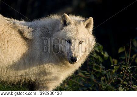 Arctic Wolf Canis Lupus Tundrarum, Adult Arctic Wolf Canis Lupus Tundrarum, Adult