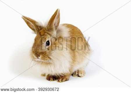 Red Dwarf Rabbit Against White Background Red Dwarf Rabbit Against White Background