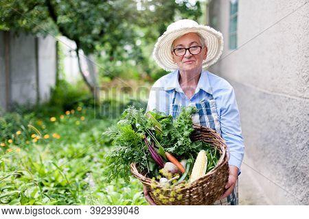 Harvesting In Garden. Senior Woman Holding Basket Of Harvested Vegetables. Retired Farmer With Organ