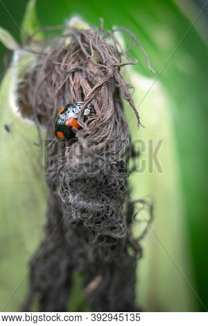 Black And Red Harlequin Ladybird On A Corn Husk, Close Up