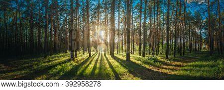Beautiful Sunset Sunrise Sun Sunshine In Sunny Summer Coniferous Forest. Sunlight Sunbeams Through W