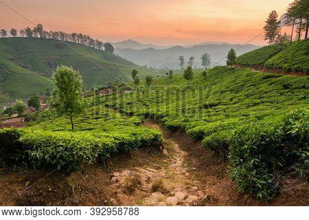 Tea plantations in Munnar, Kerala, India. Beautiful tea plantations landscape at sunset