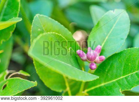 Lime Flower, Lemon On Tree, With Green Leaf, On Blurred Leaves Background, Macro
