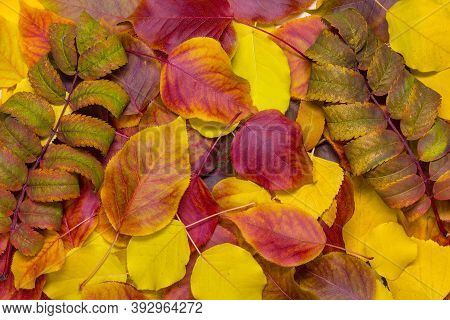 Autumn Fallen Leaves Of Rowan, Birch And Pear. Bright Colors, Yellow And Red. Multicolored Backgroun