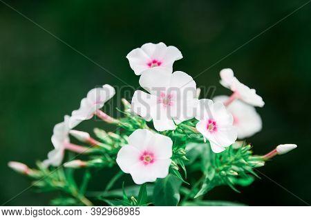 Phlox Paniculata Flowers In Garden. Beautiful Fall Phlox, Europa Summer Garden Phlox Blossom. White