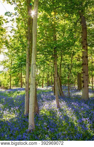 Sunlight shining, glinting through the trees in a bluebell wood or forest filled with blue flowers in spring