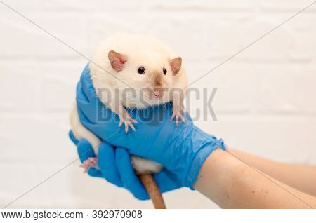 White Rat Dumbo Siam At A Veterinarian Doctor Appointment With Hands In Blue Gloves, Examination Of