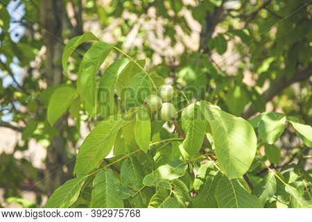 Young Walnuts On The Tree At Sunset. Tree Of Walnuts. Green Leaves Background.