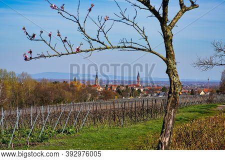 Almond Trees, Prunus Dulcis Blooming, Southern Wine Street, Rhodt Unter Rietburg Neustadt, Rhineland