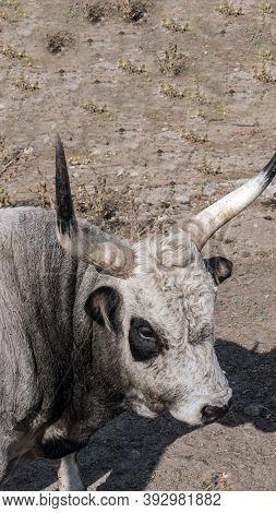Bull White, Cow Nose.horned Bull, Close-up Of A Bull, Portrait Of An Animal Bull.