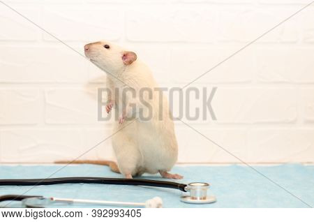 White Rat Dumbo Siam Sitting On Table Of Veterinarian Doctor With Stethoscope. Examination Of The Ra