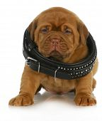 puppy growth - dogue de bordeaux puppy wearing dog collar that is too big - 4 weeks old poster