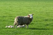 Sheep with young lambs in a meadow. poster