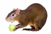 Central American agouti (Dasyprocta punctata) isolated on white background poster