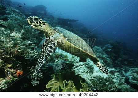 Raja Ampat Indonesia Pacific Ocean hawksbill turtle (eretmochelys imbricata) cruising above coral reef