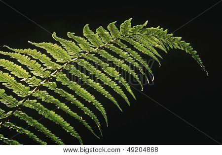 Close-up of fern leaf on black background
