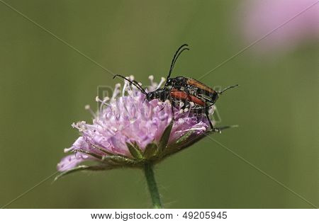 Two longhorn beetles mating on Field Scabious flower close up
