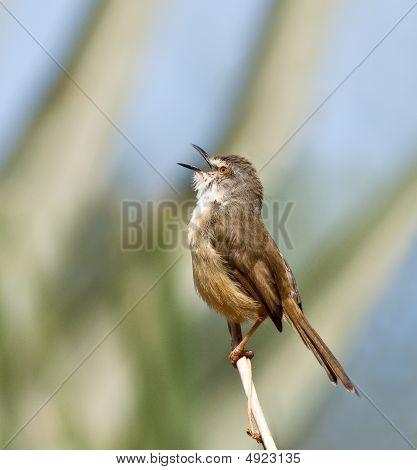 Tawnyflanked Prinia Singing