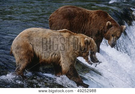 USA Alaska Katmai National Park two Brown Bears catching Salmon standing in river above waterfall side view