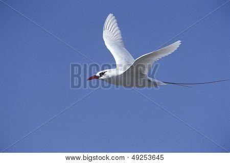 Red Tailed Tropicbird (Phaethon rubricauda) in flight