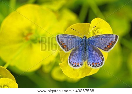 Female Common Blue Butterfly (Polyommatus icarus)