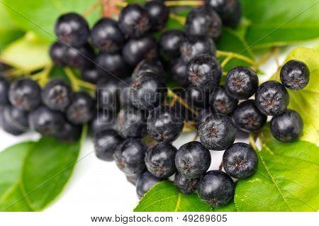 Chokeberry (Aronia ) Fruit on the white Background