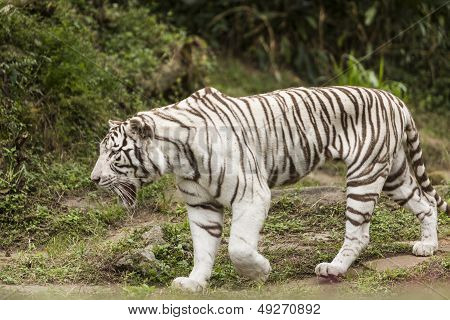 White Bengal Tiger over a grass field poster