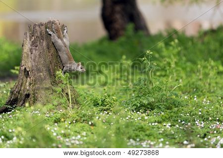 Cute squirrel climbing on a stump in London park poster