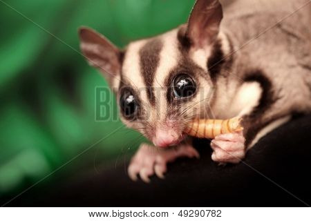 The Sugar Glider (petaurus Breviceps) Eats Beetle Larva. Small, Omnivorous, Arboreal Gliding Possum