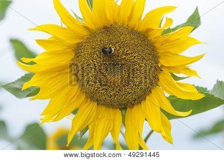 Field Of Sunflowers, Poland.