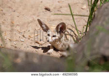 Desert Fox Fennec Fox (vulpes Zerda)
