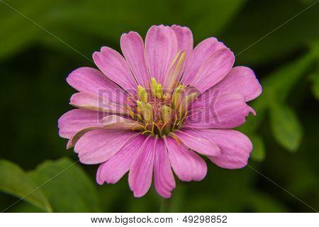 Macro Pink Straw Flower