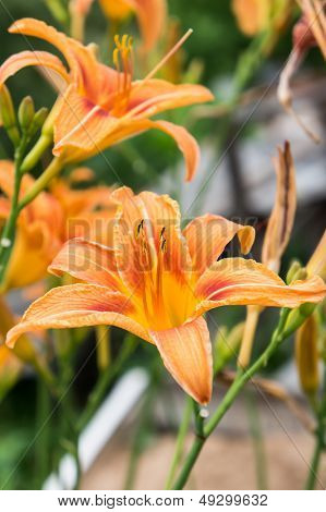 Two orange lilies