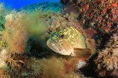 Dusky Grouper (Epinephelus marginatus)  fish in Mediterranean Sea poster