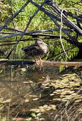 A portrait style image of a duck perched on a log casting a reflection in Fernan Lake Idaho. poster