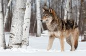 Grey Wolf (Canis lupus) Stands Towards Left - captive animal poster