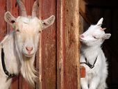 goat mother and daughter focus on the kid poster